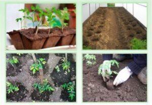 Процес посадки розсади томатів