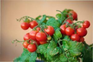 Самі врожайні сорти томатів для відкритого ґрунту