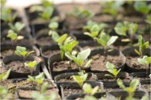 Сонячне світло допоможе баклажанам швидше вирости