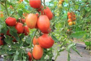 Тепличне вирощування томатів