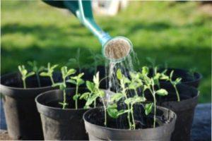 Поливайте рослини по необхідності