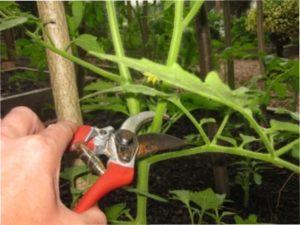 Пасинкування помідорів