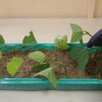 Розмноження насінням