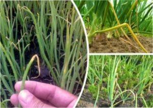 Не можна після часнику садити цибулю, оскільки це може погубити рослини