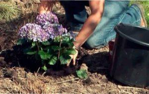 Найпростіше придбати квітучу гортензію та пересадити її на потрібне місце