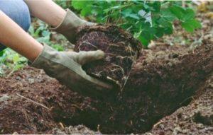 Важливо, щоб кореневище було повністю прикрите грунтом