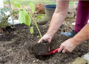 Маленькі гілочки можна згодом посадити окремо, тим самим отримавши ще кілька кущів