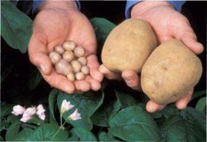 Висаджування насіння на розсаду картоплі