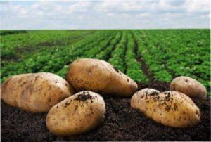 Грунт після часнику «любить» картопля