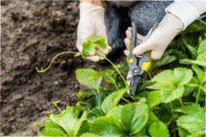 Доглядати за такою полуницею потрібно так само, як і за будь-якою рослиною