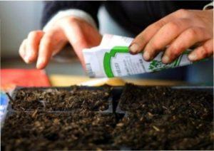 Вирощують розсаду перцю з насіння, яку потім садять у відкритий грунт