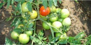 Самі врожайні сорти томатів для вирощування в Україні