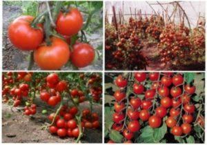 Ранні сорти томатів - фото.