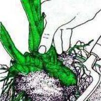 Як розмножити квітку за допомогою відведень?