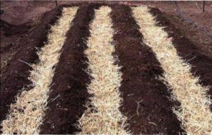 Способи висаджування насіння на розсаду картоплі