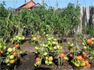 Після часнику добре ростуть і помідори