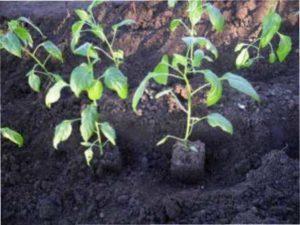 Рослина має мати хоча б 7 листочків, щоб її можна було висаджувати в грунт