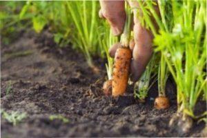 Через рік після збирання часнику рекомендують садити моркву