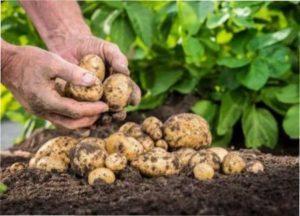 Особливості збору врожаю картоплі