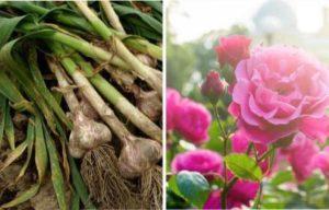 Поруч з часником добре ростуть троянди, гладіолуси