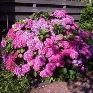 Розмножувати гортензію відводками потрібно або ранньою весною, або пізно восени