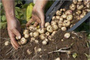 Інструкція щодо посадки картоплі