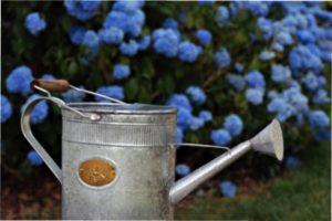 Важливо поливати як основний кущ, так і відводи.