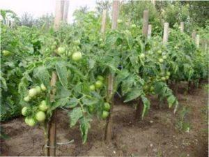 Найсмачніші сорти помідорів