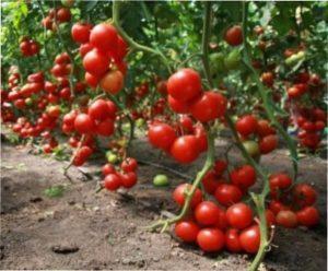 детермінантні сорти томатів фото