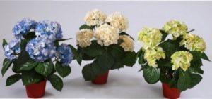 Таку квітку вирощують і в домашніх умовах