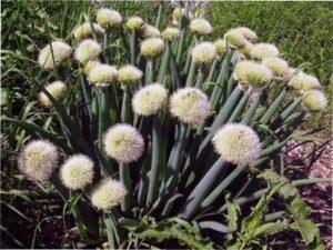 Цибуля-батун, вирощування