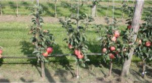 Особливості обрізки колоновидної яблуні