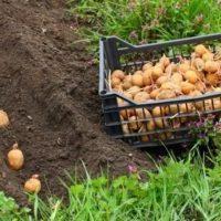 Варіанти посадки картоплі під солому