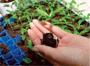 В кінці зими можна посадити розсаду в теплицю