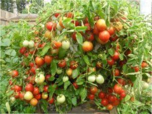 Врожайні помідори для відкритого грунту