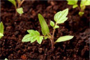 Кращі сорти томатів для посадки в Україні