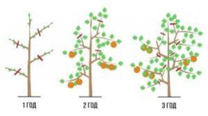 Схема обрізки яблуні