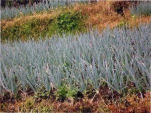 Вирощування розсади цибулі-батун