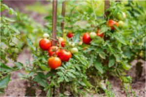 Суть пасинкування томатів