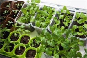 В землю насіння можна садити в лютому-березні