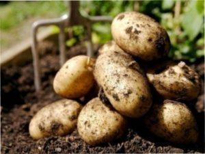 Після часнику добре росте картопля