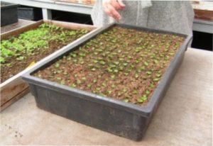 Якщо ви вирішите висаджувати насіння в ящики, то згодом вам доведеться пікірувати рослини