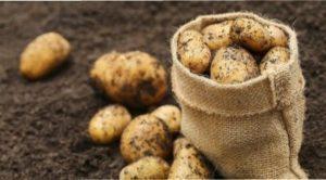 Картопля збагатить ґрунт азотом