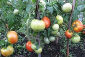 Коли томати приносять плоди?