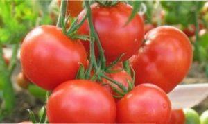 Найкращі сорти помідорів в Україні