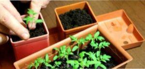 Пересадка розсади томатів