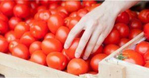 Агротехніка вирощування томатів