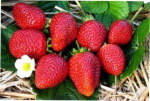 Як самостійно вирощувати ремонтантну полуницю