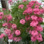 Вербена: вирощування з насіння - покрокова інструкція з фото