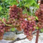 Ранні сорти винограду - термін дозрівання та правила вирощування